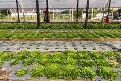 Organic salads Royalty Free Stock Image