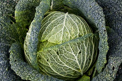 Organic Savoy Cabbage Stock Photo