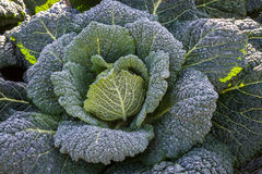 Organic savoy cabbage growing on a fiield for food Stock Photo