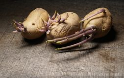 Sprouting potatoes, Solanum tuberosum, on wooden background. Organic seed potatoes with sprouts on wooden background Stock Photos