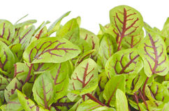 Organic Sorrel Stock Photography