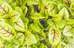 Organic Sorrel. Macro photo of a bunch of Sorrel leaves stock photos