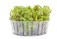 Organic Sorrel in a Plastic Container. A bunch of sorrel isolated on white stock image