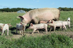 Organic sow and piglets stock photo