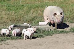 Organic sow with piglets Royalty Free Stock Photo