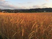Organic spelt field at sunset Royalty Free Stock Photos