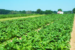 Organic spinach. Field of organic spinach with out buildings in the background Royalty Free Stock Image
