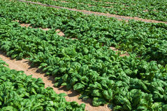 Organic spinach. Field of organic spinach growing on a farm Stock Photo