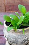 Organic spinach growing in the earthenware pot Royalty Free Stock Photos