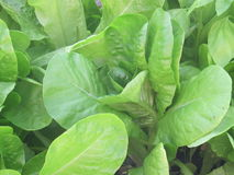 Organic Spinach growing in my greenhouse. Stock Images