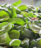 Organic spinach Stock Images