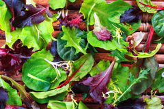 Organic Spring Mix Lettuce Stock Photography