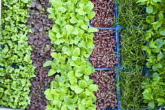 Organic sprouts. New growing organic different sprouts, garlic cress, broccoli cress, radish cress in a watering system Royalty Free Stock Photo