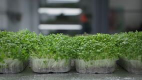 eco lifestyle, organic sprouts of young microgreens are watered from a spray bottle on shelves in a greenhouse