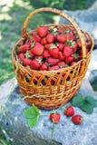 Organic strawberries in basket Stock Images
