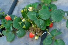 Organic strawberries. A close up of organic strawberries using drip irrigation system Stock Photos