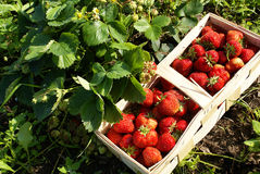 Organic strawberries on field Royalty Free Stock Photography