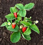 Organic strawberries in the garden Royalty Free Stock Photo