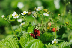 Organic strawberries growing in the garden Royalty Free Stock Images