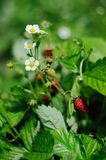 Organic strawberries growing in the garden Royalty Free Stock Image