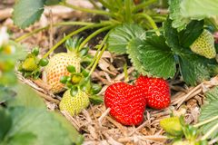 Organic strawberries growing on straw in garden. Closeup of ripe and unripe organic strawberries growing on straw in garden Royalty Free Stock Photography