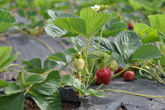 Organic Strawberry in California Field Stock Images