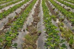 Organic Strawberry in California Field Stock Photography