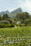 Organic strawberry farm Royalty Free Stock Photos