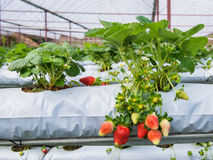 The organic strawberry farm Stock Images