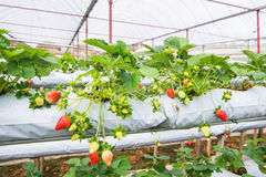 The Organic Strawberry Farm Royalty Free Stock Photo
