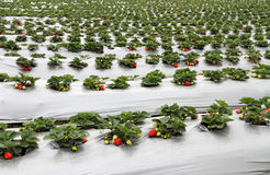 Organic strawberry farm Royalty Free Stock Photography