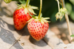 Organic strawberry Stock Photos