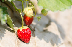 Organic strawberry Royalty Free Stock Images