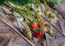 Organic strawberry fields Stock Photos