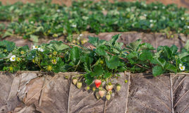Organic strawberry fields Stock Images