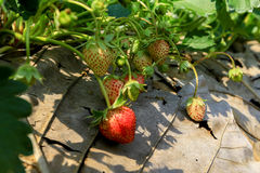 Organic strawberry fields Royalty Free Stock Images