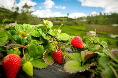 Organic strawberry fiels Royalty Free Stock Photos
