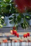 Organic strawberry Royalty Free Stock Image