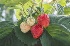 Organic strawberry Royalty Free Stock Photography