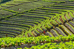 Organic strawberry plantation of Thai hill-tribes. Hill of many benches all over plantation where organic strawberry's growing by local Thai hill-tribes in royalty free stock photography