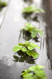 Organic Strawberry Seedlings Stock Image