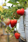 Organic strawberry tree Royalty Free Stock Photos