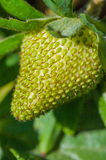 Organic strawberry unripe Royalty Free Stock Photos