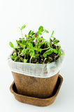 Organic Sunflower Sprouts in White Background. Organic New Born Sunflower Sprouts Growing on Black Soil in  a Pot Made from Plant Fiber in White Background Royalty Free Stock Photography
