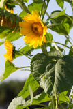 Organic sunflowers with natural daylight Stock Image