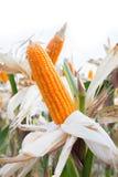 Organic Sweet Corn Royalty Free Stock Photo
