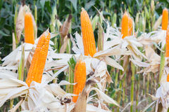 Organic Sweet Corn. For Animal Farm Organic and health royalty free stock photography