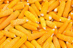 Organic Sweet Corn. For Animal Farm Organic and health stock images
