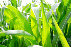 Organic sweet corn Royalty Free Stock Images