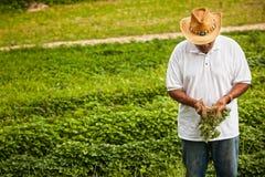 Organic sweet potatoes Stock Image